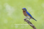 01377-17810 Eastern Bluebird (Sialia sialis) male in flower garden, Marion Co., IL