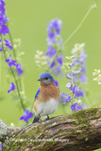 01377-17819 Eastern Bluebird (Sialia sialis) male in flower garden, Marion Co., IL