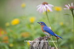 01377-18003 Eastern Bluebird (Sialia sialis) male in flower garden, Marion Co., IL