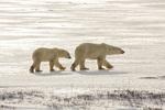 01874-13708 Polar Bears (Ursus maritimus) female with 1 cub. Churchill Wildlife Management Area, Churchill, MB Canada