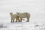 01874-13716 Polar Bears (Ursus maritimus) female with 1 cub. Churchill Wildlife Management Area, Churchill, MB Canada
