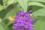 03738-00312 Zabulon Skipper Butterfly (Poanes zabulon) male on Butterfly Bush (Buddleia davidii) Marion Co., IL