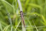 06617-00416 Spangled Skimmer Dragonfly (Libellula cyanea) female in wetland, Marion Co., IL