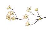 30008-00101 Flowering Dogwood (Cornus florida) branch on white background, Marion Co., IL
