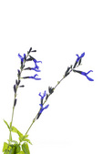 30099-00317 Black and Blue Salvia (Salvia guaranitica 'Black and Blue') on white background, Marion Co, IL