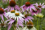 63821-23305 Purple and White Coneflowers (Echinacea purpurea and alba), Marion Co., IL
