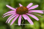 63821-23308 Purple Coneflower  (Echinacea purpurea)  Marion Co., IL