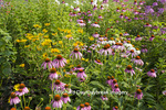 63821-23310 Flower garden with Purple Coneflowers  (Echinacea purpurea) and False Sunflowers (Heliopsis helianthoides 'Ballerina'),  Marion Co., IL