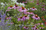 63821-23311 Flower garden with Purple Coneflowers  (Echinacea purpurea) and Russian Sage (Perovskia atriplicifolia)  Marion Co., IL