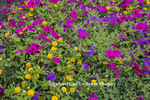 63821-23313 Flower garden with Homestead Purple Verbena, Yellow Verbena, Pink Wave Petunias  Marion Co., IL