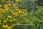 63821-23320 Flower garden with Black-eyed Susans (Rudbeckia hirta) and Black & Blue Salvias (Salvia guaranitica 'Black & Blue'), Marion Co., IL