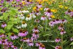 63821-23602 Flower garden (Purple & White Coneflowers, False Sunflowers)  Marion Co., IL