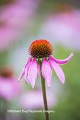 63821-23608 Purple Coneflowers (Echinacea purpurea)  Marion Co., IL