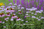 63821-23611 Flower garden with Purple Coneflowers (Echinacea purpurea) Pink Bee Balm (Monarda didyma) and Purple Lythrum Norden's Pink  Marion Co., IL