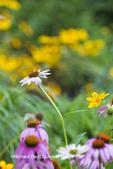 63821-23612 Flower garden with Purple Coneflowers (Echinacea purpurea) and False Sunflowers, Marion Co., IL