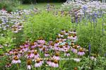 63821-23613 Flower garden with Purple Coneflowers (Echinacea purpurea), Salvias, and Pink Bee Balm (Monarda didyma), Marion Co., IL