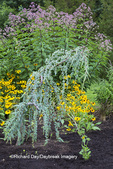 63821-23618 Flower garden with Black-eyed Susan, Blue Atlas Cedar, and Joe Pye Weed, Marion Co., IL