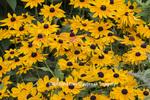63821-23619 Black-eyed Susans (Rudbeckia hirta), Marion Co., IL