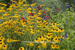 63821-23620 Flower garden with Black-eyed Susans (Rudbeckia hirta) and Black & Blue Salvias (Salvia guaranitica 'Black & Blue'), Marion Co., IL