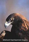 00788-008.09 Golden Eagle (Aquila chrysaetos) captive bird,  CO
