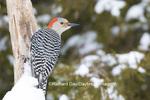 01196-03501 Red-bellied Woodpecker (Melanerpes carolinus) female in winter Marion Co. IL