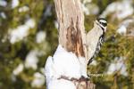 01206-03508 Downy Woodpecker (Picoides pubescens) female in winter Marion Co. IL
