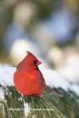 01530-22112 Northern Cardinal (Cardinalis cardinalis) male in White Pine Tree (Pinus strobus) in winter.  Marion Co. IL