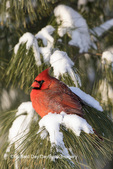 01530-22114 Northern Cardinal (Cardinalis cardinalis) male in White Pine Tree (Pinus strobus) in winter.  Marion Co. IL