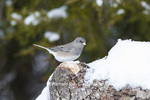 01569-01714 Dark-eyed Junco (Junco hyemalis) in winter. Marion Co. IL
