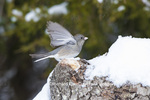 01569-01715 Dark-eyed Junco (Junco hyemalis) in winter. Marion Co. IL