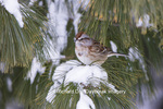 01588-00916 American Tree Sparrow (Spizella arborea) in White Pine Tree (Pinus strobus) in winter.  Marion Co. IL
