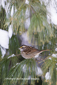 01598-00809 White-throated Sparrow (Zonotrichia albicollis) in White Pine Tree (Pinus strobus) in winter.  Marion Co. IL