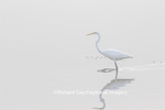 00688-02217 Great Egret (Ardea alba) in wetland in fog, Marion Co., IL