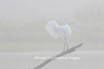 00688-02410 Great Egret (Ardea alba) preening in wetland in fog, Marion Co., IL
