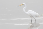 00688-02504 Great Egret (Ardea alba) feeding in wetland in fog, Marion Co., IL