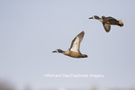 00722-02816 Blue-winged Teal (Anas discors) in flight, Marion Co., IL