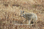 01864-03407 Coyote (Canis latrans) Yellowstone National Park, WY