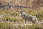01864-03413 Coyote (Canis latrans) Yellowstone National Park, WY