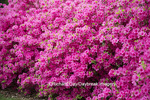 65021-03614 Azaleas, Missouri Botanical Garden, St Louis, MO