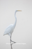 00688-02408 Great Egret (Ardea alba) in wetland in fog, Marion Co., IL