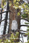 01128-00103 Great Gray Owl (Strix nebulosa) Yellowstone National Park, WY