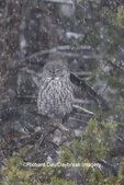01128-00105 Great Gray Owl (Strix nebulosa) in snowstorm, Yellowstone National Park, WY