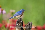 01377-165.08 Eastern Bluebird (Sialia sialis) male on fence post in flower garden  Marion Co. IL