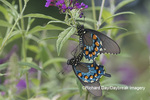 03004-01501 Pipevine Swallowtail (Battus philenor) male and female mating on Butterfly Bush (Buddleja davidii) Marion Co. IL