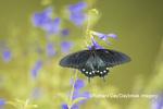03004-01511 Pipevine Swallowtail (Battus philenor) on Blue Ensign Salvia (Salvia guaranitica ' Blue Ensign') Marion Co. IL