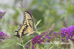 03017-01419 Giant Swallowtail (Papilio cresphontes) on Butterfly Bush (Buddleja davidii) Marion Co. IL