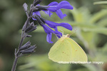 03091-00513 Cloudless Sulphur (Phoebis sennae) on Salvia sp. Marion Co. IL