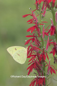 03091-00804 Cloudless Sulphur (Phoebis sennae) on Cardinal flower (Lobelia cardinalis) Marion Co. IL