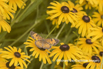 03380-00704 Pearl Crescent (Phyciodes tharos) on Black-eyed Susans (Rudbeckia hirta) Marion Co. IL