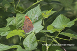 03392-01001 Question Mark (Polygonia interrogationis) Marion Co. IL